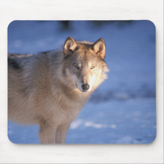 gray wolf, Canis lupus, in the foothills of Mouse Mat