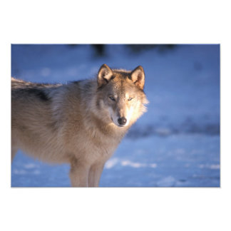 gray wolf, Canis lupus, in the foothills of Photo Print