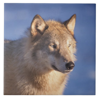 gray wolf, Canis lupus, in the foothills of the 2 Tile