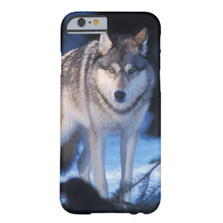gray wolf, Canis lupus, in the foothills of the 3 Barely There iPhone 6 Case
