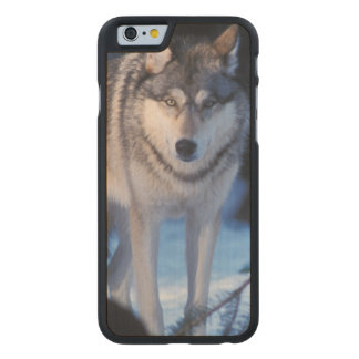 gray wolf, Canis lupus, in the foothills of the 3 Carved Maple iPhone 6 Case