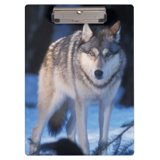 gray wolf, Canis lupus, in the foothills of the 3 Clipboard