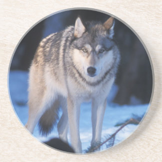 gray wolf, Canis lupus, in the foothills of the 3 Coasters