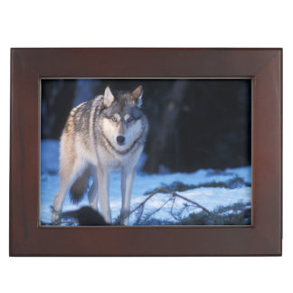 gray wolf, Canis lupus, in the foothills of the 3 Keepsake Box