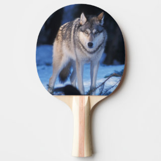 gray wolf, Canis lupus, in the foothills of the 3 Ping Pong Paddle