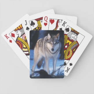 gray wolf, Canis lupus, in the foothills of the 3 Playing Cards