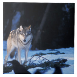 gray wolf, Canis lupus, in the foothills of the 3 Tile