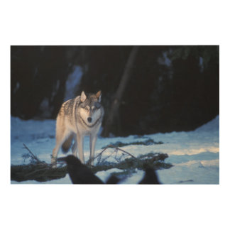 gray wolf, Canis lupus, in the foothills of the 3 Wood Print