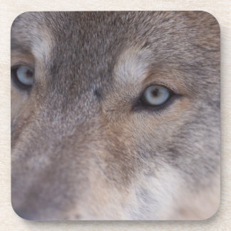 gray wolf, Canis lupus, in the foothills of the Beverage Coaster