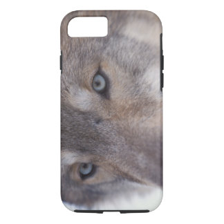 gray wolf, Canis lupus, in the foothills of the iPhone 8/7 Case