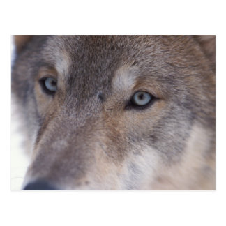 gray wolf, Canis lupus, in the foothills of the Postcard
