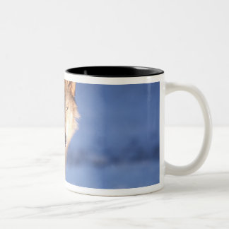 gray wolf, Canis lupus, in the foothills of Two-Tone Coffee Mug