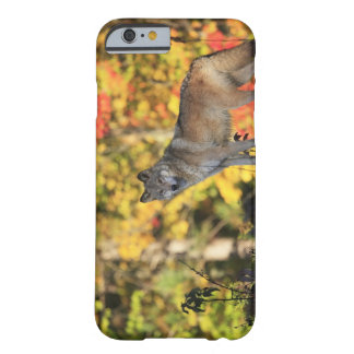 Gray Wolf Canis lupus.order: carnivorafamily Barely There iPhone 6 Case