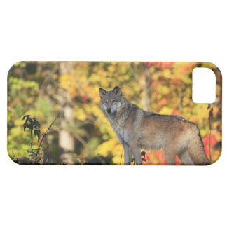 Gray Wolf Canis lupus.order: carnivorafamily iPhone 5 Cover