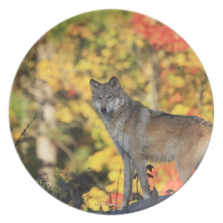 Gray Wolf Canis lupus.order: carnivorafamily Plate