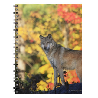 Gray Wolf Canis lupus.order: carnivorafamily Spiral Note Book