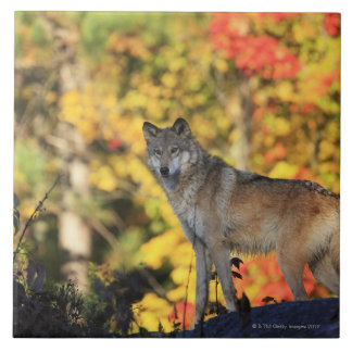 Gray Wolf Canis lupus.order: carnivorafamily Tile