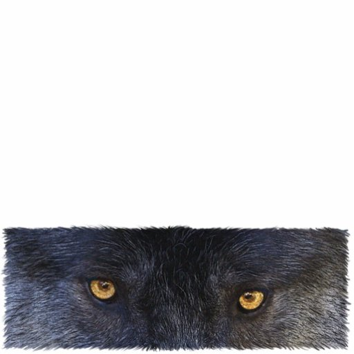 GRAY WOLF EYES (sculpted) Wildlife Magnet Acrylic Cut Out