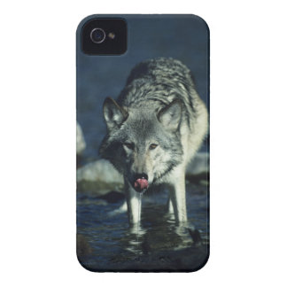 Gray wolf in Autumn drinking iPhone 4 Cover