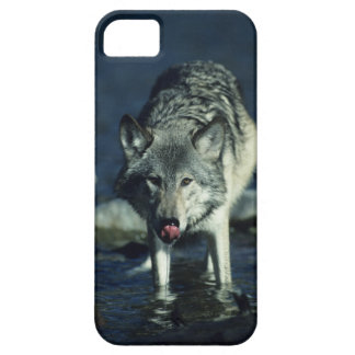Gray wolf in Autumn drinking iPhone 5 Cases