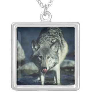 Gray wolf in Autumn drinking Silver Plated Necklace