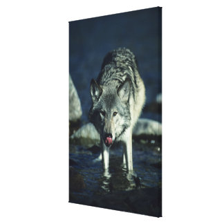 Gray wolf in Autumn drinking Stretched Canvas Print