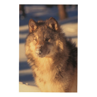 Gray Wolf in Snow Wood Wall Art