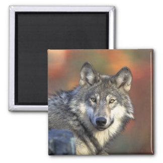 Gray Wolf Refrigerator Magnet