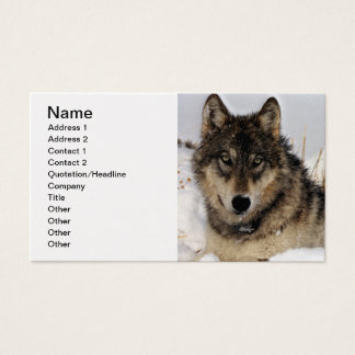 Gray Wolf or Timber Wolf Laying in the Snow Business Card