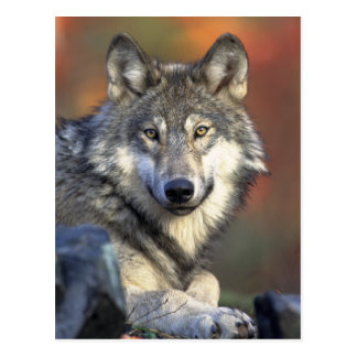 Gray Wolf Photo Post Card