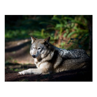 Gray Wolf Post Cards