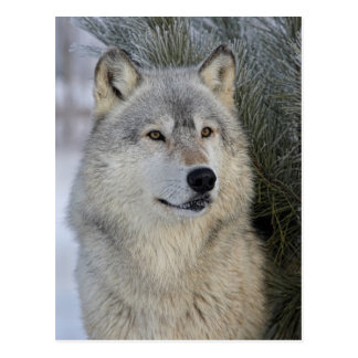 Gray Wolf Post Card