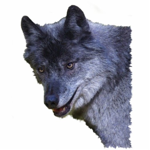 GRAY WOLF (sculpted) Wildlife Magnet Photo Cutout