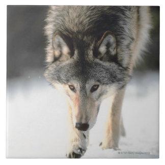 Gray wolf walking tile