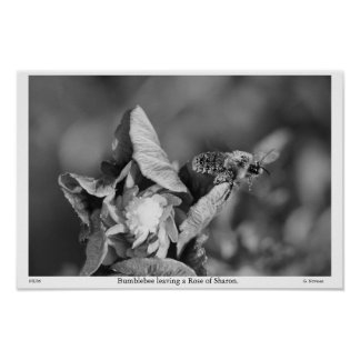 Grayscale Bumblebee leaving a Rose of sharon Posters