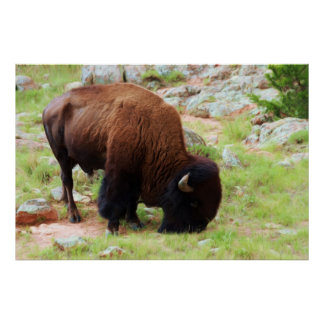 Grazing American Bison Print