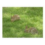 Grazing Bunnies Postcard