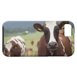 Grazing cows iPhone 5 cover
