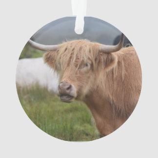 Grazing Highland Cow