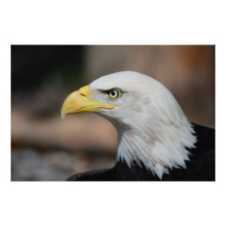 Great Bald Eagle Poster