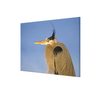 Great Blue Heron, Ardea herodias, adult, Canvas Print