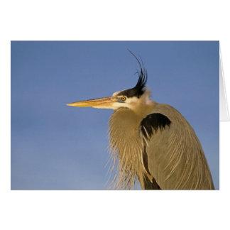 Great Blue Heron, Ardea herodias, adult, Card