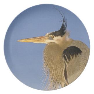 Great Blue Heron, Ardea herodias, adult, Plate