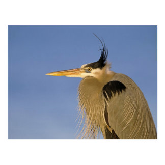 Great Blue Heron, Ardea herodias, adult, Postcard