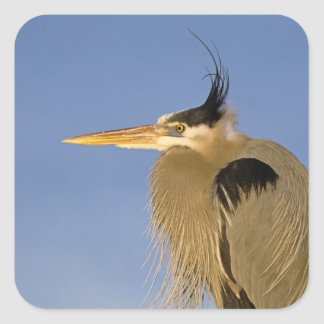 Great Blue Heron, Ardea herodias, adult, Square Sticker