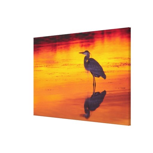 Great Blue Heron (Ardea herodias) fishing at Canvas Prints