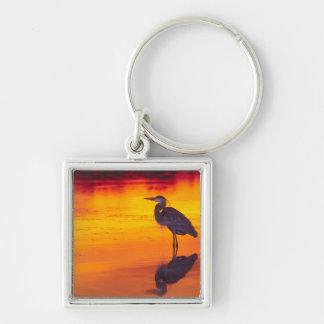 Great Blue Heron (Ardea herodias) fishing at Keychains