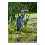 Great Blue Heron at the Pond Print or Poster