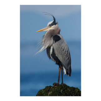 Great Blue Heron, attempting to preen Poster