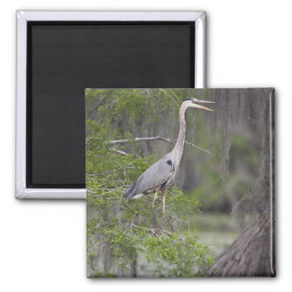 Great Blue Heron calling form cypress tree Magnet